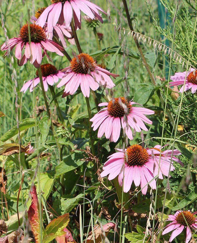 Flowers at the rain garden